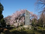 東郷寺のしだれ桜 その1