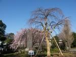 東郷寺のしだれ桜 その2