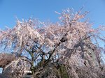 東郷寺 しだれ桜 その2