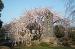 東郷寺 しだれ桜 その1