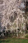 東郷寺 しだれ桜 その3